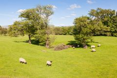 Yorkshire Dales Agricultural Landscape. English agricultural landscape in the Yorkshire Dales with trees and sheep Royalty Free Stock Photography