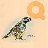English alphabet , Quail Royalty Free Stock Images
