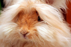 English Angora Bunny Rabbit. An English Angora Bunny Rabbit. The wool or hair is used for spinning yarn and then knitted stock photography