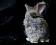 English Angora kits Royalty Free Stock Images