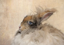 English Angora rabbit. Close-up of English Angora rabbit royalty free stock image