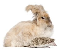 English Angora rabbit and a Four-toed Hedgehog, Atelerix albiventris. In front of white background stock photo