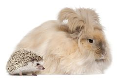 English Angora rabbit and a Four-toed Hedgehog, Atelerix albiventris. In front of white background royalty free stock photo