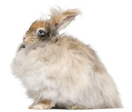 English Angora rabbit in front of white background. English Angora rabbit, side view royalty free stock image