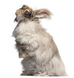 English Angora rabbit in front of white background Royalty Free Stock Photography