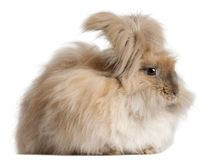English Angora rabbit in front of white background. Isolated on white stock photography