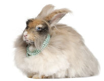 English Angora rabbit wearing pearls. In front of white background Royalty Free Stock Photos
