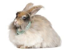 English Angora rabbit wearing pearls Royalty Free Stock Photos