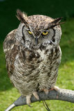 Horned Owl. Tethered so it does not fly away royalty free stock image