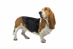 English Basset Hound Royalty Free Stock Photos