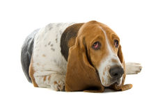 English Basset Hound Stock Photos