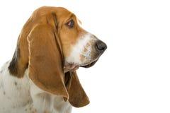 English Basset Hound dog. An English Basset Hound dog portrait royalty free stock images