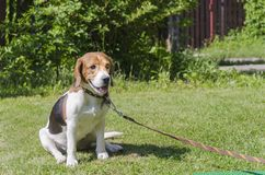 English Beagle, a breed of blood-hunting dogs, on a leash. English Beagle, a breed of blood-hunting dogs, on a tethered lawn royalty free stock images