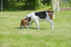 English beagle - hunting bloody dogs goes on the trail Royalty Free Stock Photography