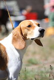 English beagle portrait on sunny day Stock Photos