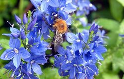 English Bee on a Blue Hydrangea. An English bee on a blue Hydrangea flower looking for honey to take back to the hive. The blue is a beautiful shade of colour royalty free stock images