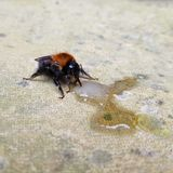 English bee drinking sugar water. Helping a dying been by feeding sugar water Royalty Free Stock Photography