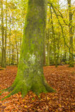 English Beech Forest in Autumn Stock Photos