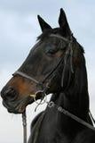 English blood horse Stock Photo