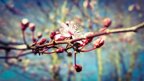 English blossom tree starting to bloom. Beautiful english blossom tree in the spring morning starting to bloom with bright blue sky Royalty Free Stock Image