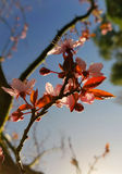 English blossom tree starting to bloom bright English sun beaming down on leafs. Beautiful english blossom tree in the spring morning starting to bloom with Stock Image