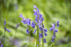 English Blue Bells in the forest Royalty Free Stock Image