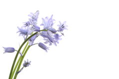 English  bluebell Royalty Free Stock Image