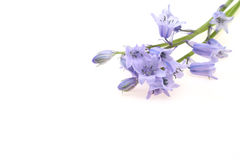English  bluebell Royalty Free Stock Photos