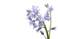 English  bluebell Stock Image