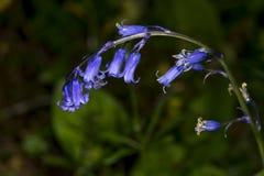 English bluebell stem, Hyacinthoides non-scripta Royalty Free Stock Images