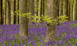 English bluebell wood Royalty Free Stock Photography