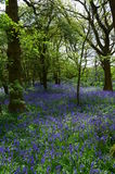 English bluebell wood in Spring. Royalty Free Stock Images