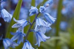 English bluebells Stock Photography