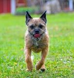 English border terrier Royalty Free Stock Photo