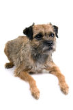 English border terrier royalty free stock image