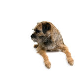 English border terrier Royalty Free Stock Photos