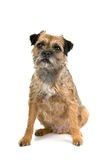 English border terrier Stock Images