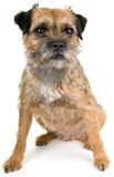 English border terrier Stock Photography