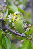 English Budgerigar Royalty Free Stock Image