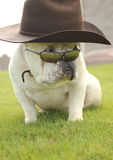 English Bull Dog With Hat and Sunglasses Stock Photos