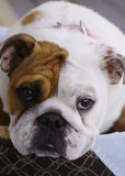English Bull Dog Puppy Stock Images