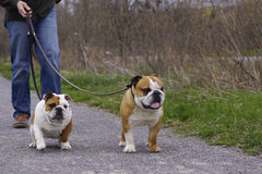 English Bull Dogs out Walking stock photos