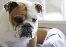 English Bull Dogs - Sad Expression Stock Photography