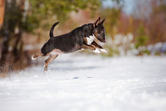 English bull terier dog playing outdoors Royalty Free Stock Photography