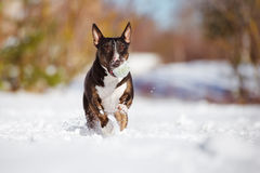 English bull terier dog playing outdoors Stock Image