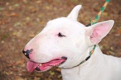 English Bull Terrier Stock Images