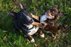 English bull terrier and chihuahua dogs outdoors Stock Images
