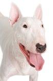 English Bull Terrier Closeup Stock Photos