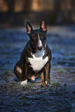 English bull terrier dog Royalty Free Stock Photography