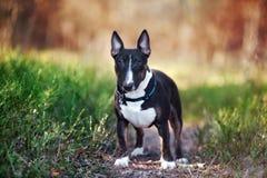English bull terrier dog. Black english bull terrier dog outdoors Royalty Free Stock Photo